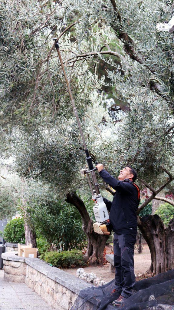 vareando olivos parque alcantara